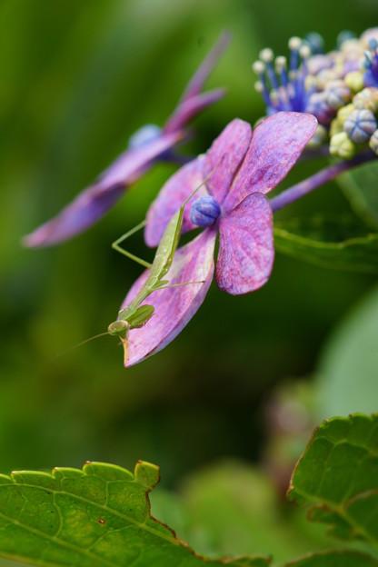 紫陽花とカマキリ