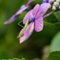写真: 紫陽花とカマキリ