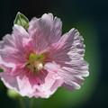 写真: ピンクのタチアオイ