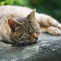 写真: 眠れる猫