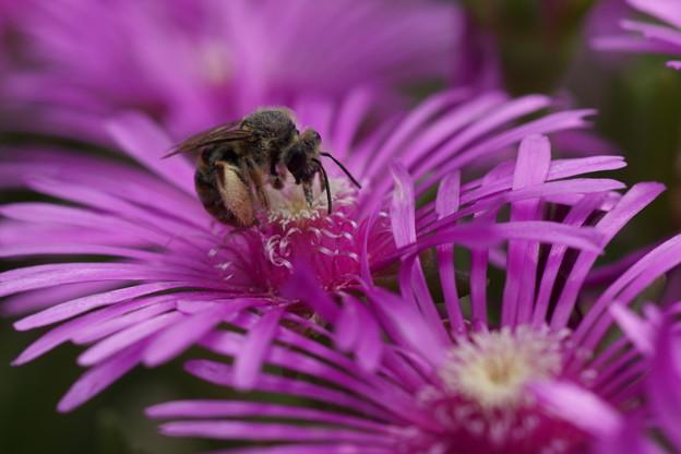 蜂とマツバギク