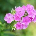 写真: ピンクのフロックス