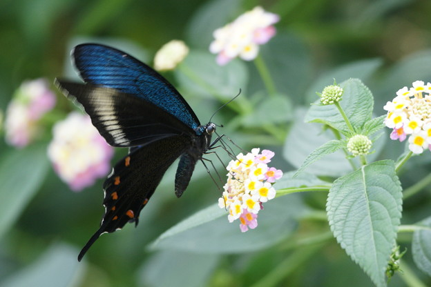 写真: カラスアゲハチョウ