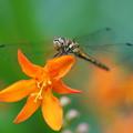 写真: 花とトンボ