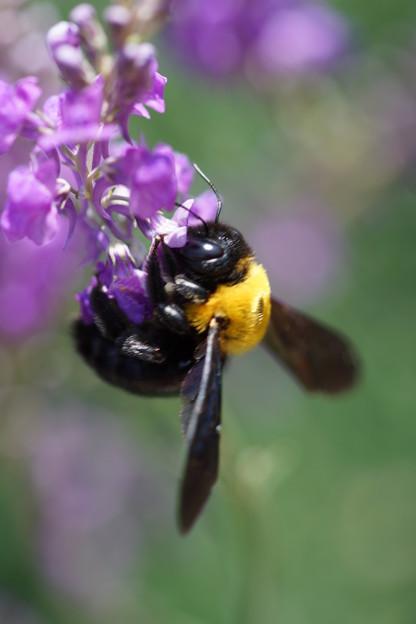 Photos: 花とクマバチ