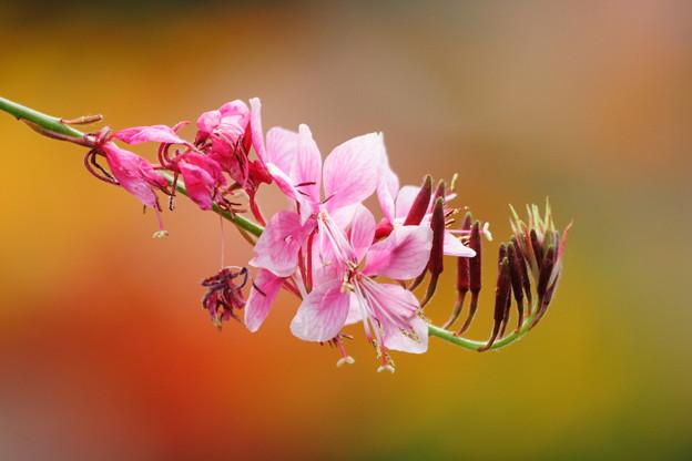 ピンクのガウラ