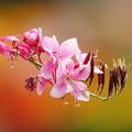 写真: ピンクのガウラ