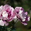 Photos: 紫の園