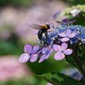 写真: 紫陽花とクマバチ