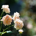 写真: 夏の薔薇
