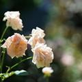 Photos: 夏の薔薇