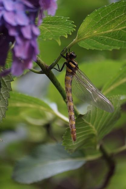 紫陽花で休むトンボ