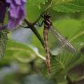 Photos: 紫陽花で休むトンボ