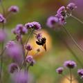 バーベナとクマバチ