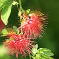Photos: 熱帯の花