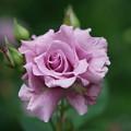 写真: 若紫