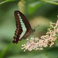 写真: アオスジアゲハチョウ