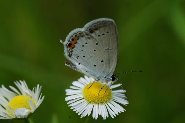 ヒメジョオンと蝶