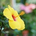 写真: 黄色いハイビスカス