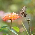 写真: 薔薇と揚羽