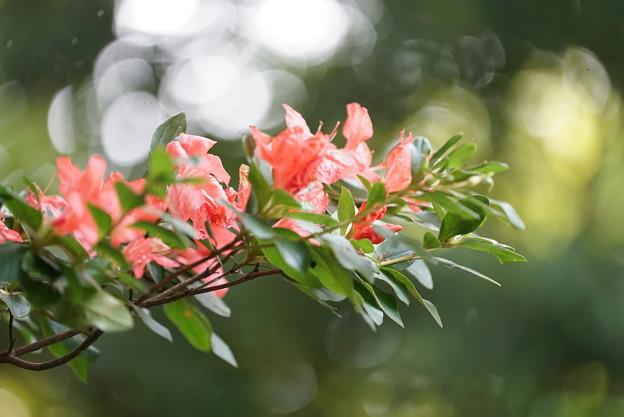 夏に咲くツツジ