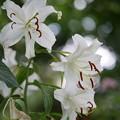 写真: 白い百合