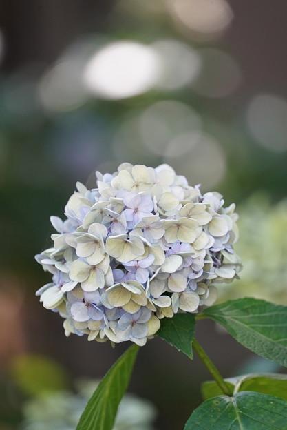 夏の紫陽花