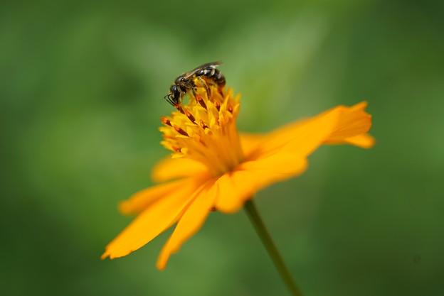 蜂とキバナコスモス