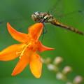 写真: 花とアキアカネ