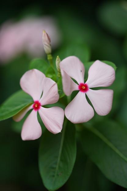 ピンクの日日草