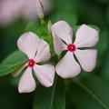 Photos: ピンクの日日草