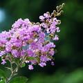 写真: 薄紫の百日紅