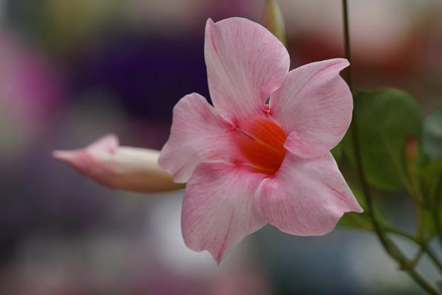 薄ピンクのサンパラソル