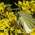 写真: 蝶を襲う蟷螂