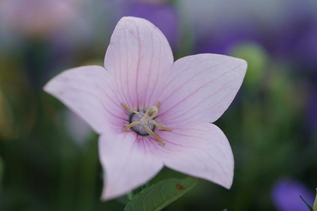 ピンクの桔梗