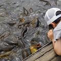 写真: 鯉の餌やり