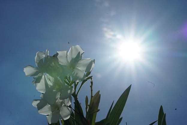 白い夾竹桃
