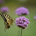 写真: 花とキアゲハ