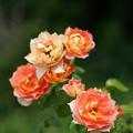 写真: 夏薔薇
