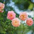 写真: 薔薇の花々