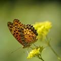 写真: 花とツマグロヒョウモン
