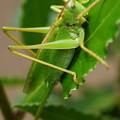 写真: 緑のバッタ