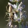 Photos: 獲物捕らえた蜘蛛