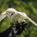 Photos: 白い梟