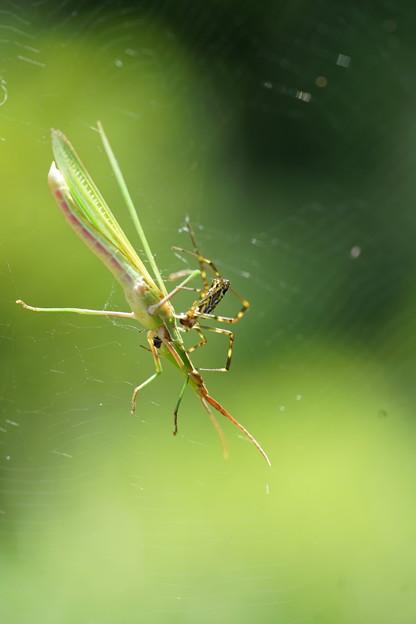 蜘蛛の巣に捕らわれたバッタ