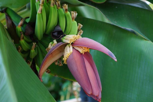 写真: バナナ