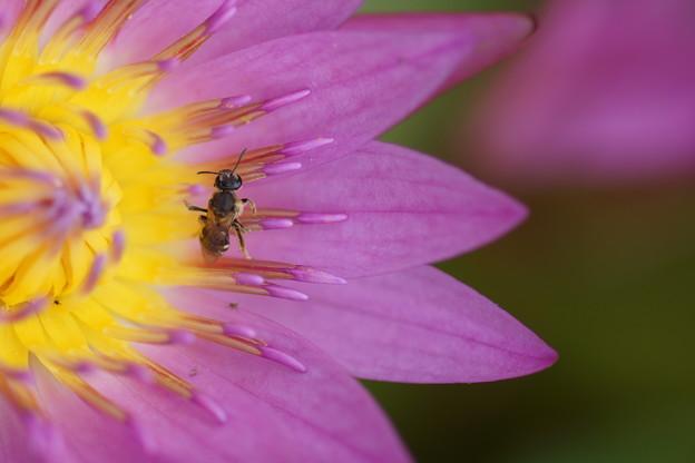 写真: 睡蓮と昆虫