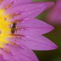 Photos: 睡蓮と昆虫