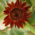 赤い向日葵