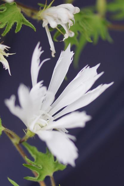 Photos: 白い変化朝顔